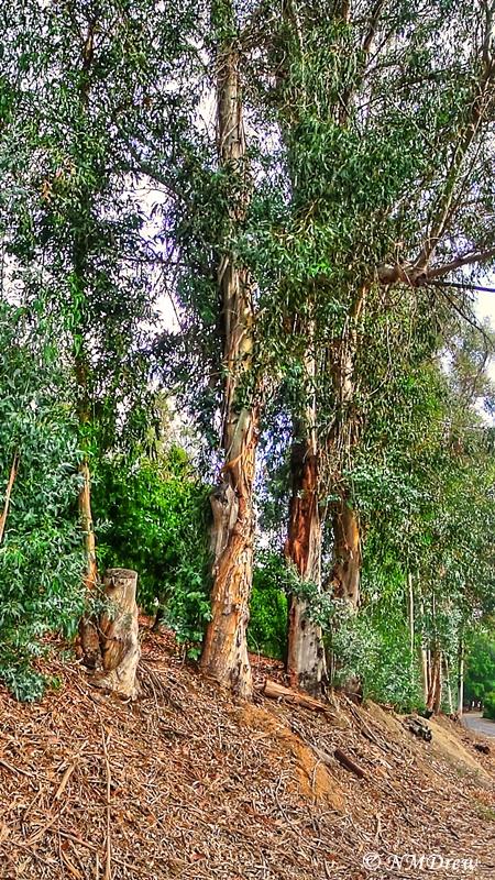 Eucalyptus TreesPPro_HDR 1