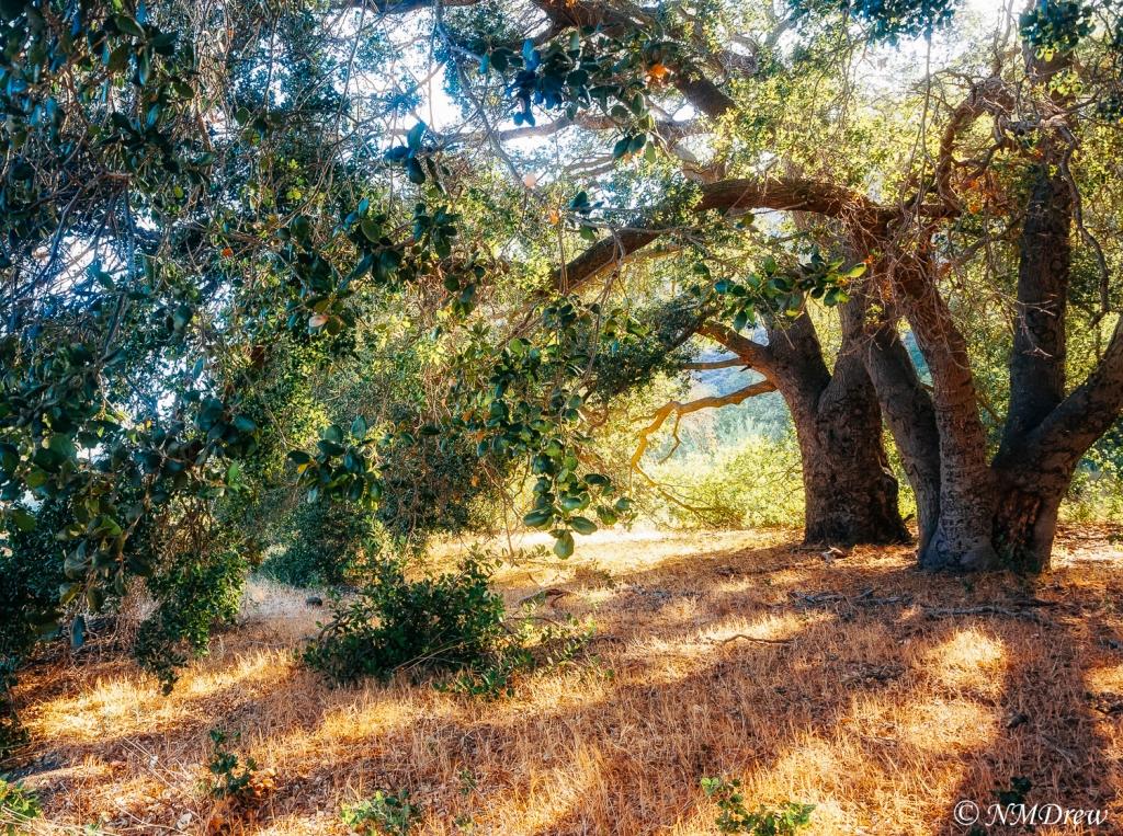 Oak Trees at Sunrise