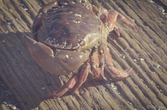 Faded Crab on Pier