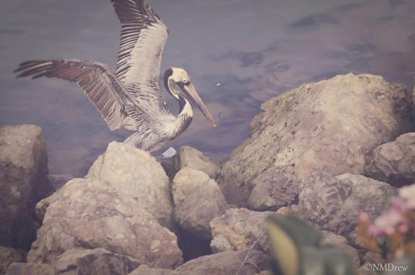 Faded Pelican