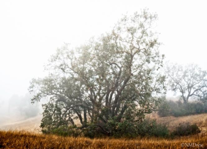 Oak Tree in the Mist