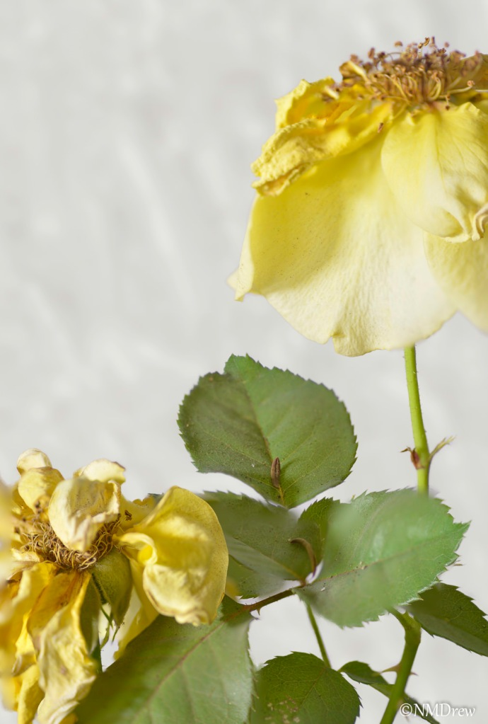 Yellow Rose Remask 4 Impasto Gaussian Blur