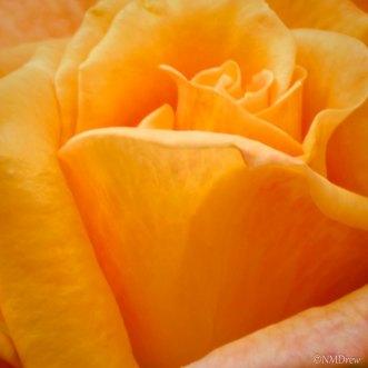 Arizona Rose