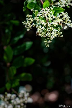 Toyon in Bloom
