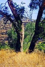 Morning Trees