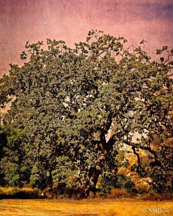 The Big Oak ii