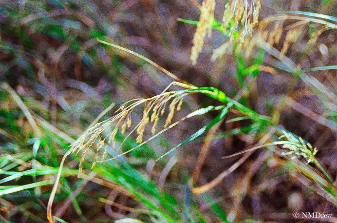Autumnal Grasses-1