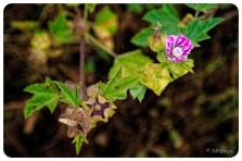 Pink Coastal Flower