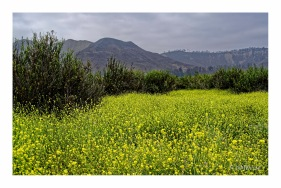 Field of Black Mustard
