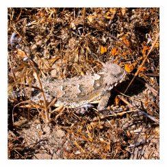 Horned Lizard