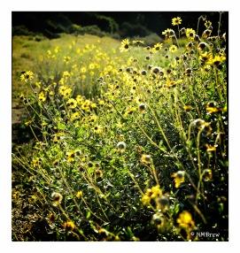 Mountain Sunflowers
