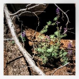 Lupines grow among the pines.