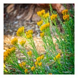 Yellow flowers which grow at the very edge of the Canyon.
