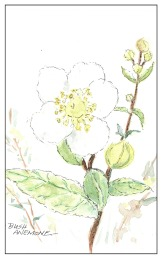 Bush Anemone