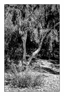 Young Eucalyptus